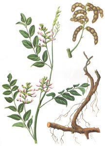 Herb Gan Cao (Licorice Root)